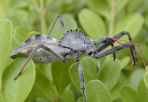 Kissing Bug Identification Requires Closer Look Insects