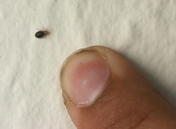 Bed bugs are small  and come out mostly at night. Bed bugs and your apartment   Insects in the City