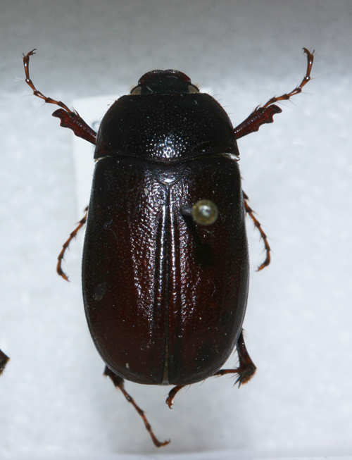 When are June beetles... not? - Insects in the City - photo#42