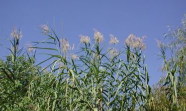 tops of common reed