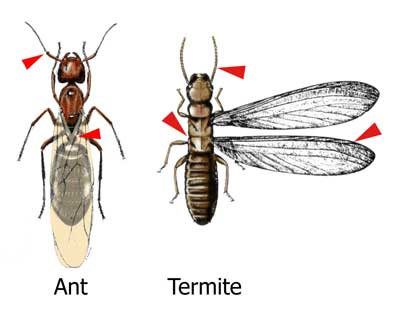 Ant swarmers are distinguished from termites by their pinched waists and elbowed antennae.  Swarmers may or may not have wings.