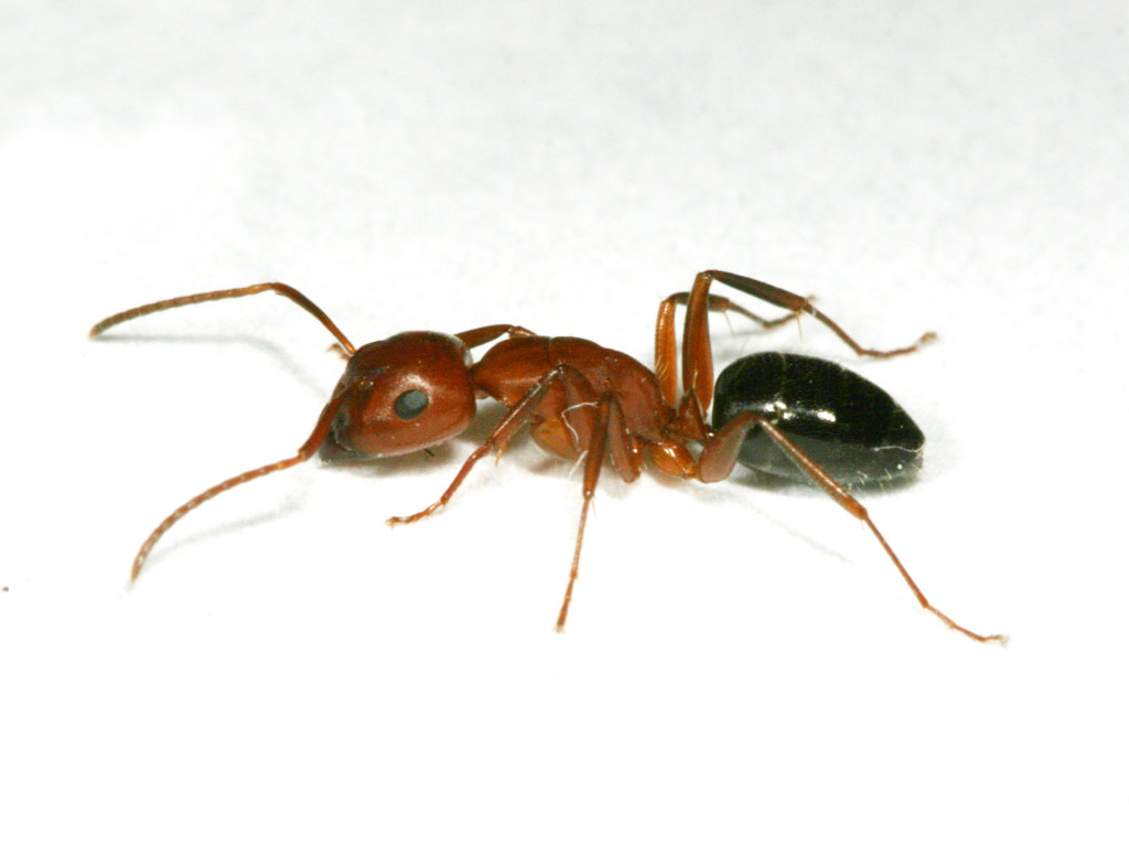 Carpnter ants are recognized by their relatively large size, single node and evenly rounded profile.