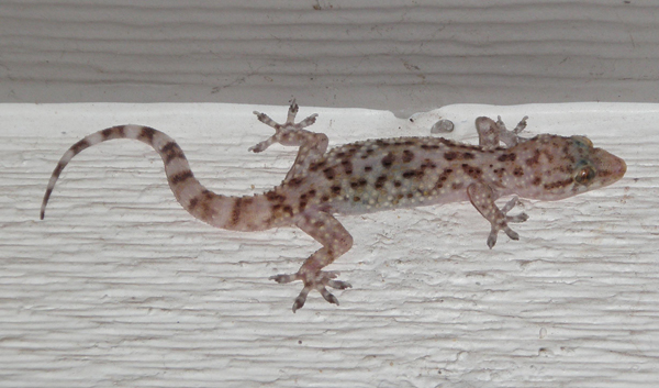 Mediterranean geckos, Hemidactylus turcicus, range in size from one to five inches.  To some they are pests, to others welcome guests because of their appetite for insects. Photo E. Brown.