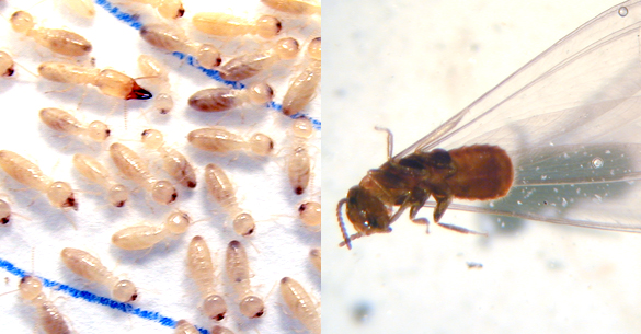 Termite workers (left) and a termite swarmer (right) are the two termite castes likely to be encountered in a home.
