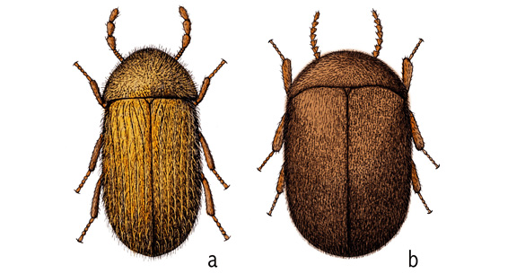 The drugstore (a) and cigarette beetles are two of the most common stored product-infesting beetles.