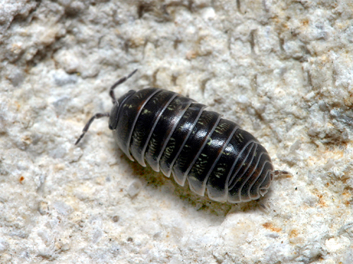 Pillbugs are one of the most common arthropods in most Texas landscapes.
