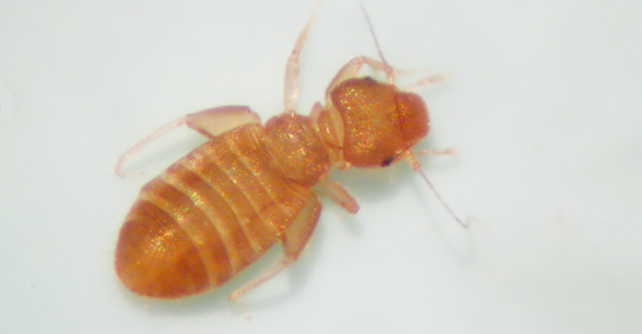 "Psocid, or booklouse. Note the bulging upper ""lip"", narrow thorax and swollen hind femur."