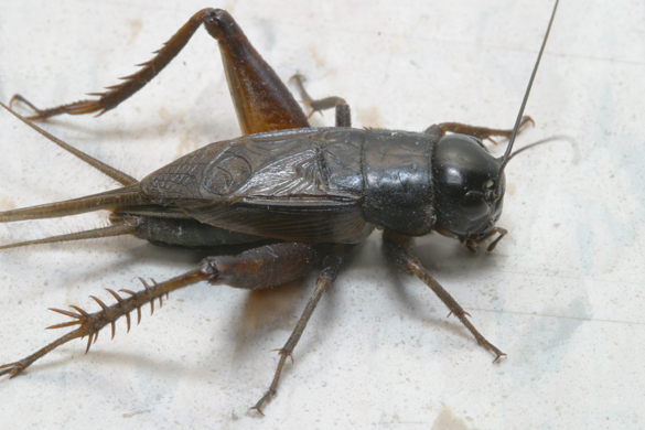 Masses of black field crickets are a common sight in late summer and fall in many parts of Texas.