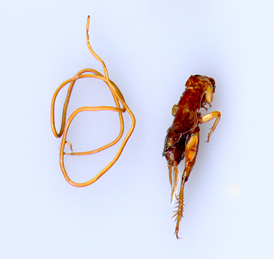 Horsehair worm (left) and the cricket from which it emerged.