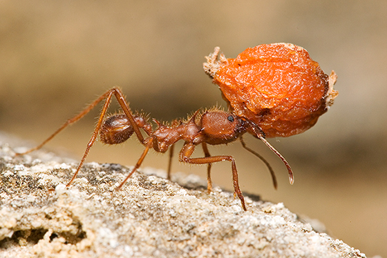 Texas leafcutting ant bringing plant material back to nest for the colony's fungal garden. With permission from Seth Patterson, Wildsnap Photography.