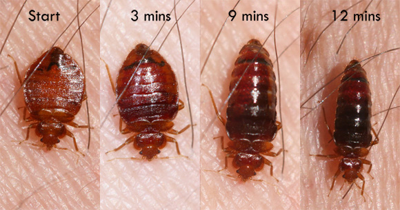 Change in bed bug appearance while feeding
