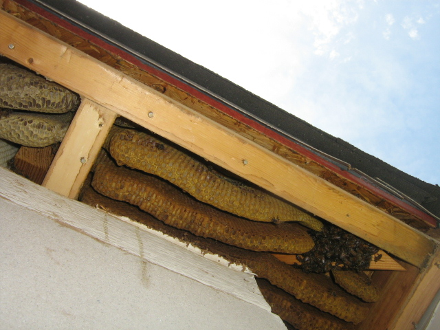 bee hive in soffit area of home
