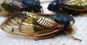 Periodical cicadas are recognized by red eyes (faded in this image), black bodies and orange wing veins.  Specimens collected by Tim Brys. Photo by Valerie Wielard.