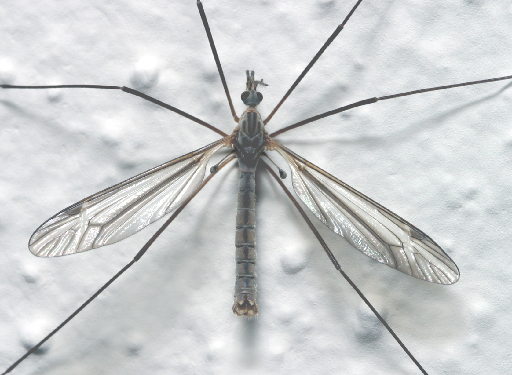 The long-legged crane flies are one of the early insect harbingers of spring.