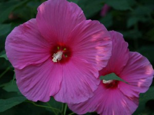 Pink Flare Hibiscus - a great Texas Superstar for sunny, hot spots.