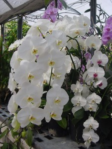 White Phalaenopsis moth orchid - photo courtesy of Texas A&M AgriLife Research.