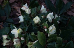 An abundance of blooms on H. 'HGC Cinnamon Snow' make this a great plant for early season bloom in the shade.