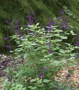 Great new salvia  - hoping it is reliably hardy in Northeast Texas.