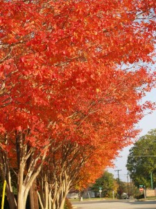 Many crape myrtle varieties have outstanding fall color