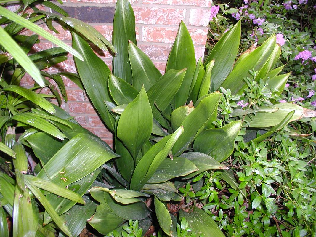Cast Iron Plants : Jazz up the landscape east texas gardening