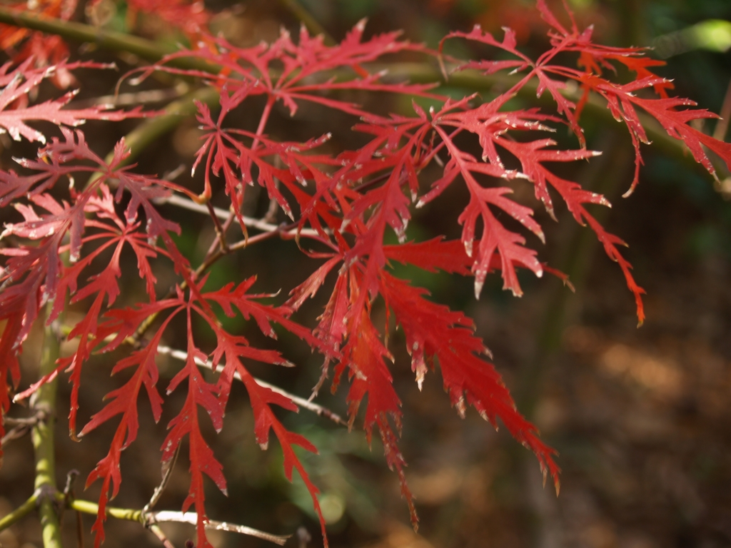 Japanese Maples For Year Round Interest East Texas Gardening