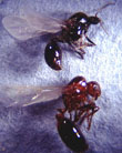 Reproductives have wings. <br />Male(top),female(bottom)