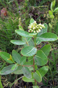 Hemp dogbane flower