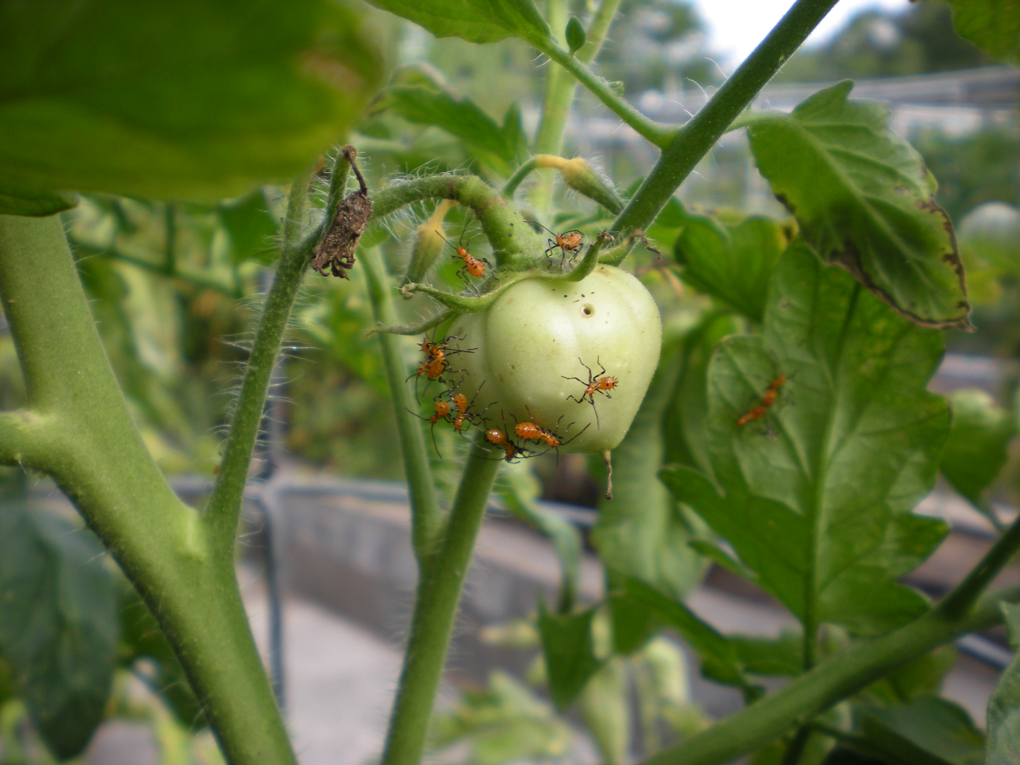 Finding Leaf-footed Bugs in Your Tomatoes?   Harris County ...