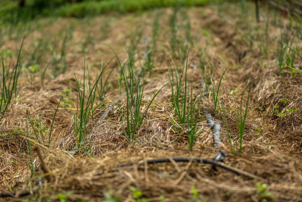 Mulching between crops is one characteristic of conservation agriculture. Mulugeta Ayene/WLE.