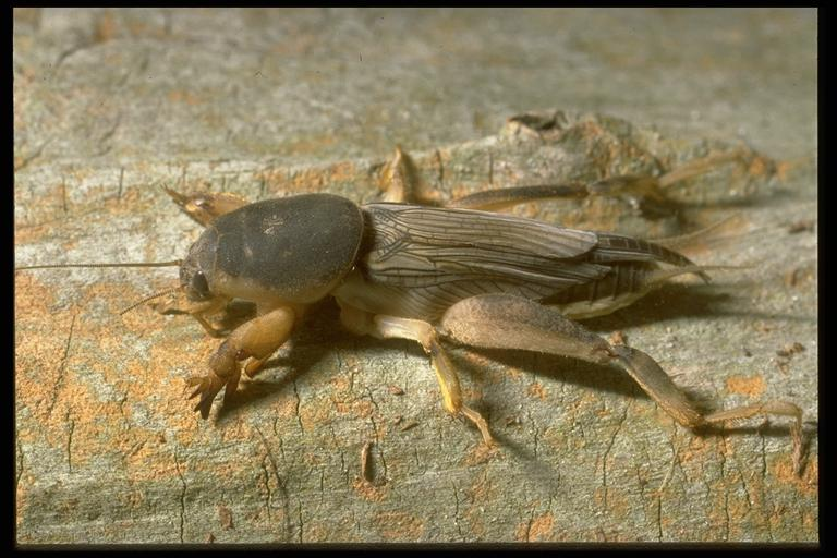 Southern mole cricket, Scapteriscus borellia Giglio-Tos (Orthoptera: Gryllotalpidae). Photo by Drees.