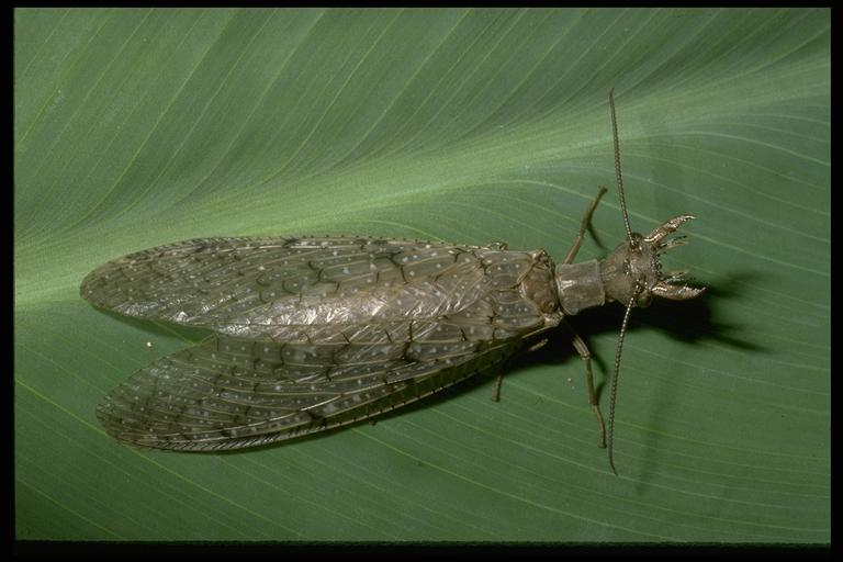 A dobsonfly, Corydalus sp. (Neuroptera: Corydalidae), female. Photo by Drees.
