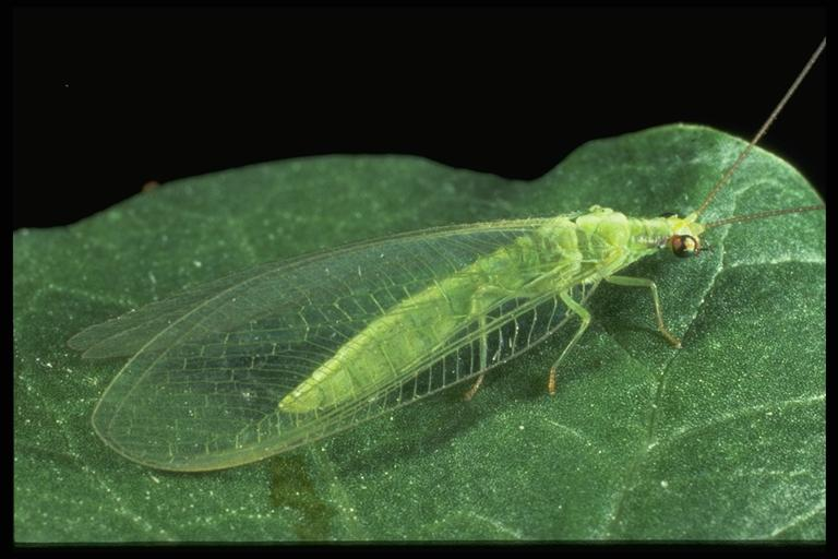 A green lacewing, Chrysoperla sp. (Neuroptera: Chrysopidae), adult. Photo by Drees.