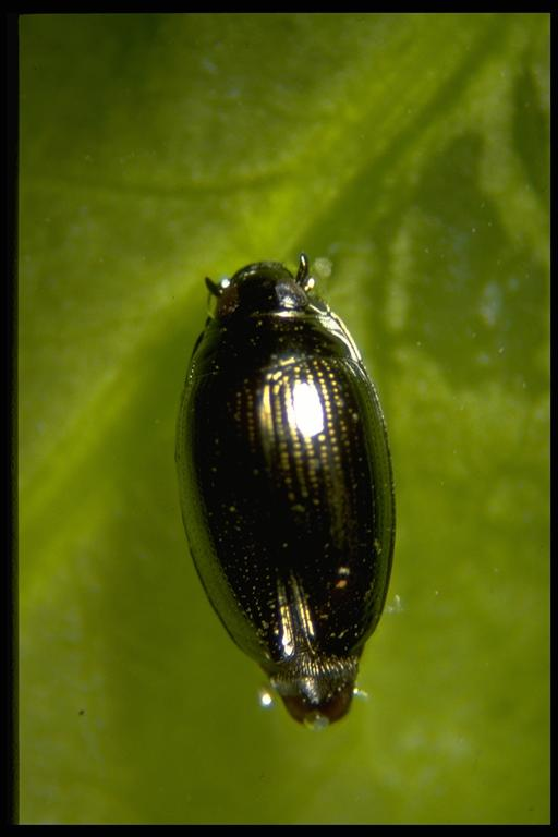 A whirligig beetle, Gyrinus sp. (Coleoptera: Gyrinidae). Photo by Drees.