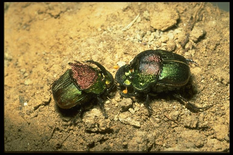 """Rainbow scarab"", a dung beetle, Phanaeus vindex MacLachlan (Coleoptera: Scarabeidae), male (horned) and female. Photo by Drees."