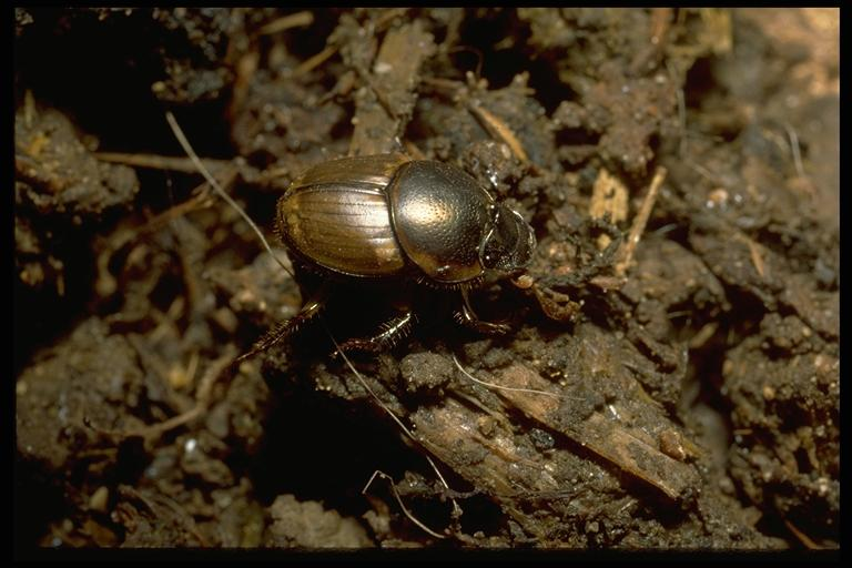 Introduced dung beetle, Onthophagus gazella Fabricius (Coleoptera: Scarabeidae). Photo by Drees.