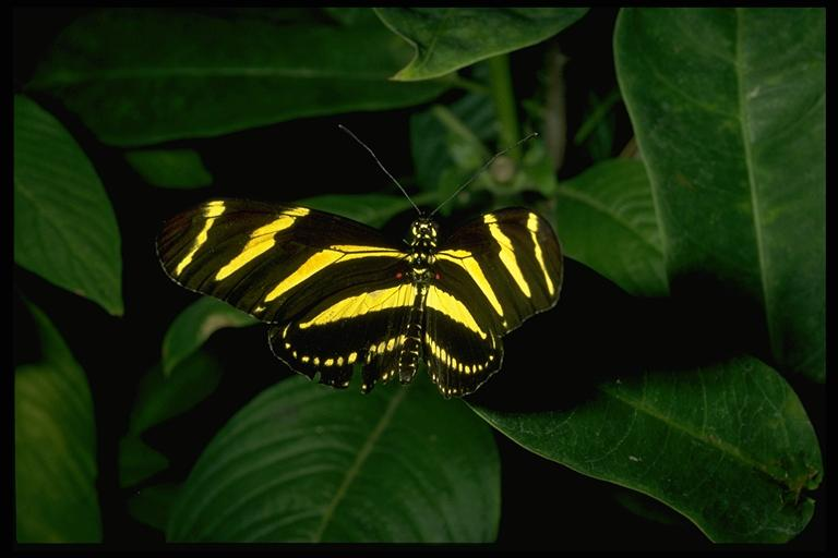 Zebra longwing, Heliconius charitonius vazquezae Comstock & Brown (Lepidoptera: Heliconiidae). Photo by Drees.