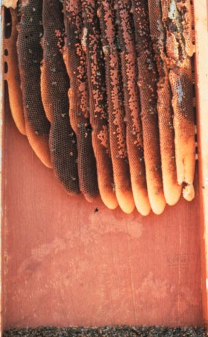 Honey bee, Apis mellifera Linnaeus (Hymenoptera: Apidae), nest in wall void. Photo by A. Sparks, Jr.