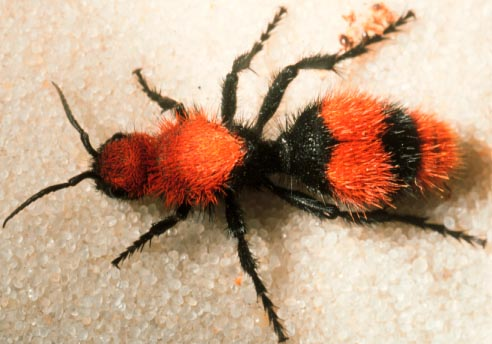 "Red velvet ant or ""cow killer"", Dasymutilla occidentalis (Linnaeus) (Hymenoptera: Mutillidae).Photo by Drees."