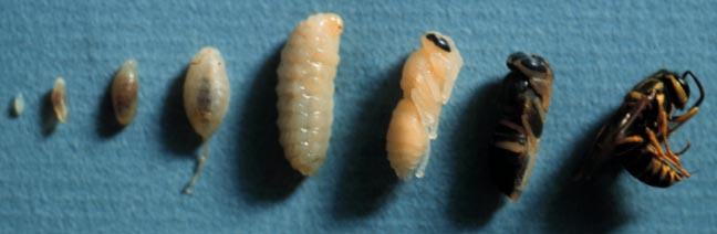 Southern yellowjackets, Vespula squamosa (Drury) (Hymenoptera: Vespidae), developmental stages; larval stages (instars), pupae, adult. Photo by Drees.