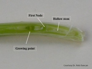 Figure 1. Sliced wheat stem reveals young growing point differentiation with hollow stem to the right. Growing point differentiation—spikelet number and seeds per spikelet—is likely complete. (Photo courtesy Dr. Rob Duncan.)