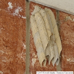 mud dauber nest