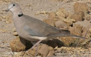 RINGED TURTLE-DOVE  Streptopelia risoria