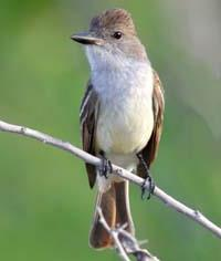 BROWN-CRESTED FLYCATCHER  Myiarchus tyrannulus