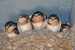 BARN SWALLOW Hirundo rustic