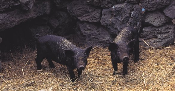 Two baby wild pigs