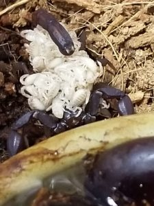 Texas cave scorpion with babies