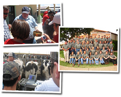 Collage of students feeding and working with dairy cows