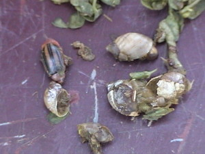Contents of a quail's crop, where food is stored prior to digestion.